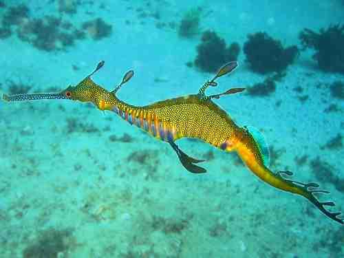 Phyllopteryx